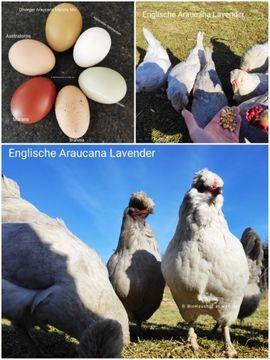 Nutztiere - Englische Araucana Lavender Bruteier Grün-
