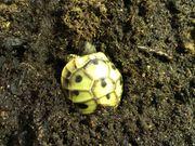 Griechische Landschildkrötenbabys THB Schildkröten
