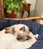 Wunderschöne Siam-Thai mit blauen Augen