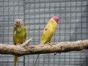 Pflaumenkopfsittiche gelb übergossen