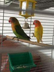 pfirsichköpfchen gelb und grün