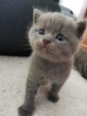 BKH Rassenmix Kitten