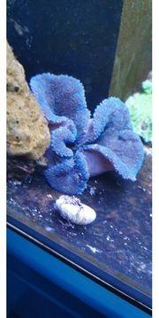 Teppichanemone blau Meerwasser Anemone