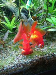 Schleierschwänze Goldfische Ryukins Orandas Teleskopaugen