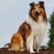 Amerikanischer Collie Lassie Collie amerikanischen