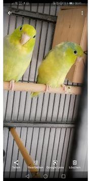 Blaugenickssperlingspapageien Paar US Gelb Schecken