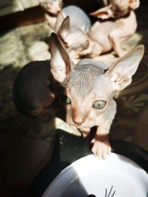 2 Canadian Sphynx Babykatzen suchen bald ein neues Zuhause