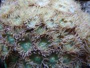 Meerwasser- Korallenableger Duncanopsammia axifugia mit