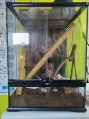 Goldstaubtaggecko Paar inkl Terrarium