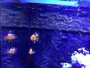 Clownfischpärchen Nachzucht vom Köllezoo und