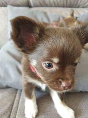 2 süße Chihuahua-Welpen
