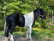 Shetland Pony Hengst - 1 600