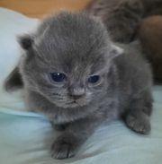 BLH Kitten mit Stammbaum
