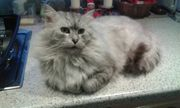 Maine Coon-Kater