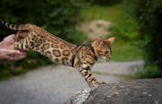 Bengal Kitten Bengal Katze