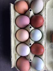 befruchtete Eier gemsicht Grün- Braun-