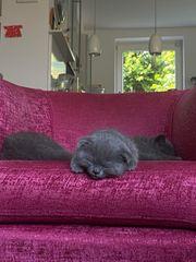 Katzenkinder British kurzhaar scfold