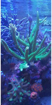 Meerwasser Acropora Tumida Enzmann sps
