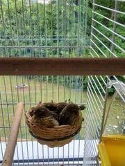Junge Kanarien Vogel abzugeben