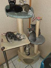Kätzchen Bkh mix in gute