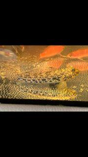 Meerwasser Schmuckgrundel Istigobius Ornatus Aquarium