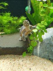 Moschusschildkröte dringend abzugeben