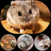 Zwerghamster - Hamster suchen neues liebevolles