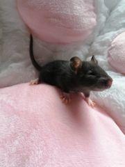ich verkaufe 2 junge Rattenweibchen