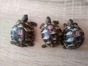 Griechische Landschildkröten THB und Breitrandschildkröten