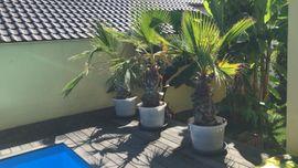 Pflanzen - Palmen Washington Robuste