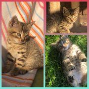 Baby Kater Monte 7 Wochen