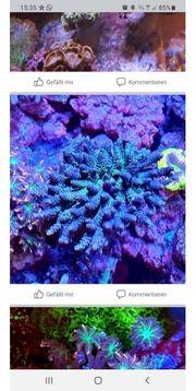 div Korallen Zoanthus und Snow