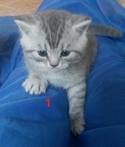 BKH Kittes suchen ein schönes