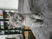 Reinrassige BKH Kitten Britisch Kurzhaar