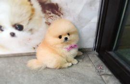 Pomeranian bis 2kg gesucht