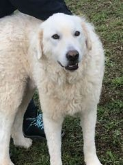 Junger freundlicher Herdenschutzhund Maremmano Rüde