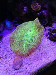 Meerwasser Korallen
