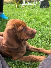 Schwarzwälder Schweißhund Plotthound Welpen