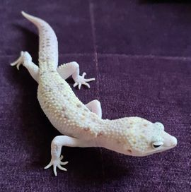 White&Yellow Mack Snow Tremper Raptor Eclipse