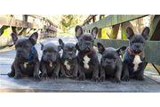 Französische Bulldoggen der Extraklasse