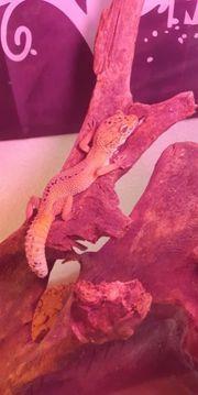 leopardgecko Männchen