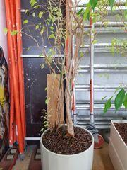 Zimmerpflanzen mit Hydrokultur zu verkaufen