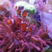 Lebendgestein - Korallen - Lps - Fische für