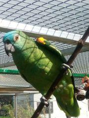 blaustien Amazonen 0 1