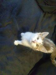 Katzenbaby - Babykatze - Kätzchen 9 Wochen