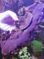 Meerwasser Montipora XXL