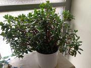 Zimmerpflanze Geldbaum