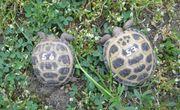 kleine Vierzehenschildkröten Steppenschildkröten