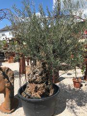 Olea europea Olivenbaum