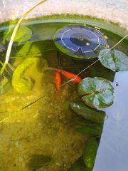 Aquarium mit 2 Goldfischen und
